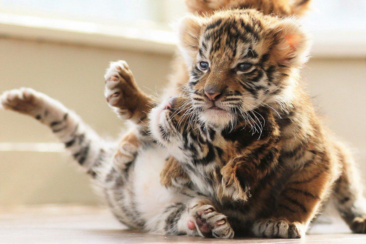 上になったり下になったり🐯 お互いマクラになって欲しいようです😊 #トラ #赤ちゃん #アフリカンサファリ #枕合戦