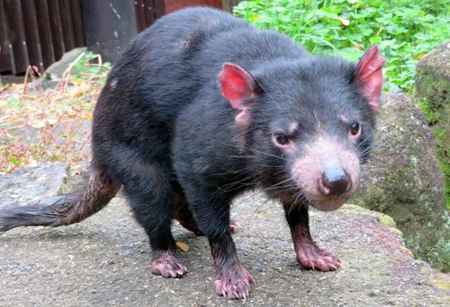 多摩動物公園に昨年来園したタスマニアデビルのメス「マルジューナ」が死亡しました。東京ズーネットお知らせ☞https://t.co/m3ZPes4VIp
