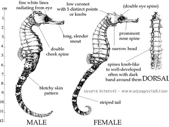 Barnacle Babes On Twitter Be Smart Anatomy Of A Seahorse