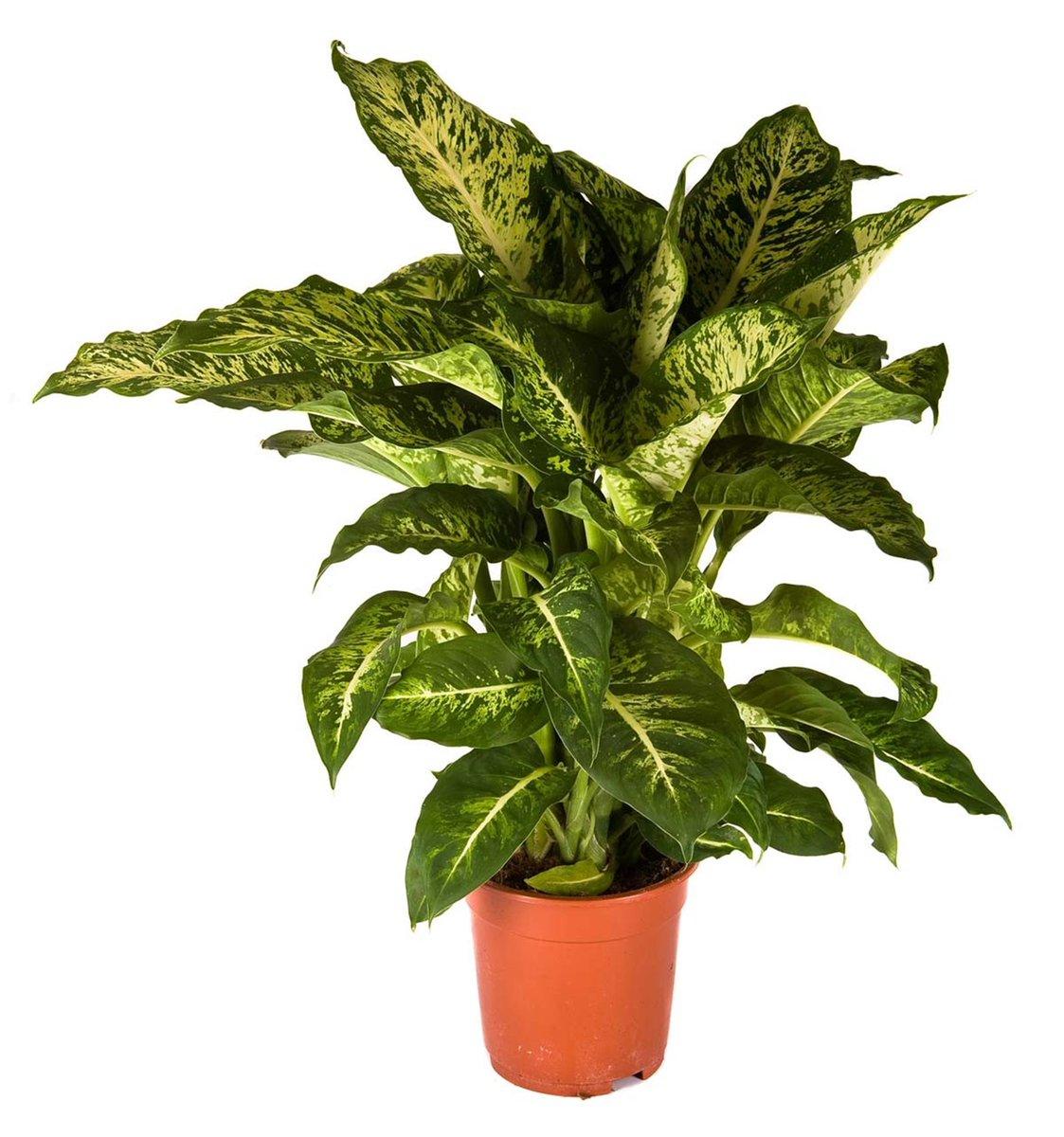 plante exotique en pot trendy pcssac graines buster vanille graines sant graines de fleurs pot. Black Bedroom Furniture Sets. Home Design Ideas
