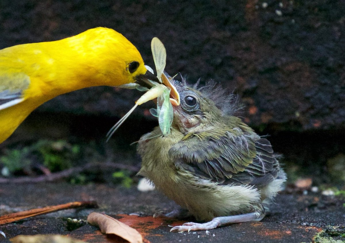 Prothonotary warbler (Protonotaria citrea) #painting #art <br>http://pic.twitter.com/pvMcC0DvjK