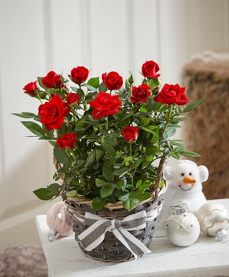 Фото тюльпаны в горшке дома
