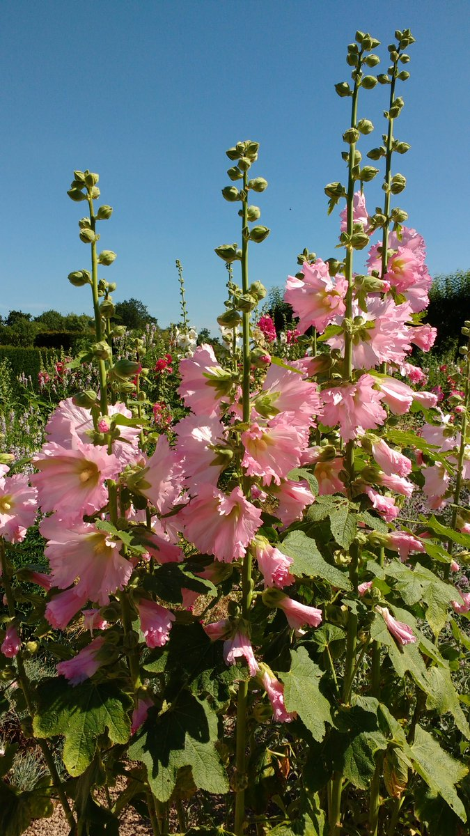On this grey winter's day we thought blue skies and hollyhocks might cheer you up! Don't worry, the winter solstice is just around the corner and then the evenings draw out and summer doesn't seem so far out of reach! #gorgeousgarden #summerwillcomeagain #blueskies