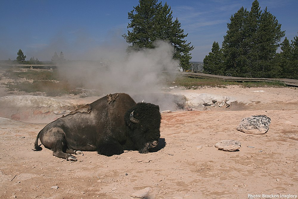 Tune in now! broadcast featuring Yellowstone bison biologist Rick Wallen is taking questions live at 11:00MT. Join live at https://t.co/uP9nUnjw1U