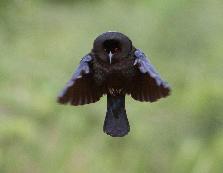 Bronzed Cowbirds  (Molothrus aeneus) #painting #art <br>http://pic.twitter.com/SndY0zEiIX