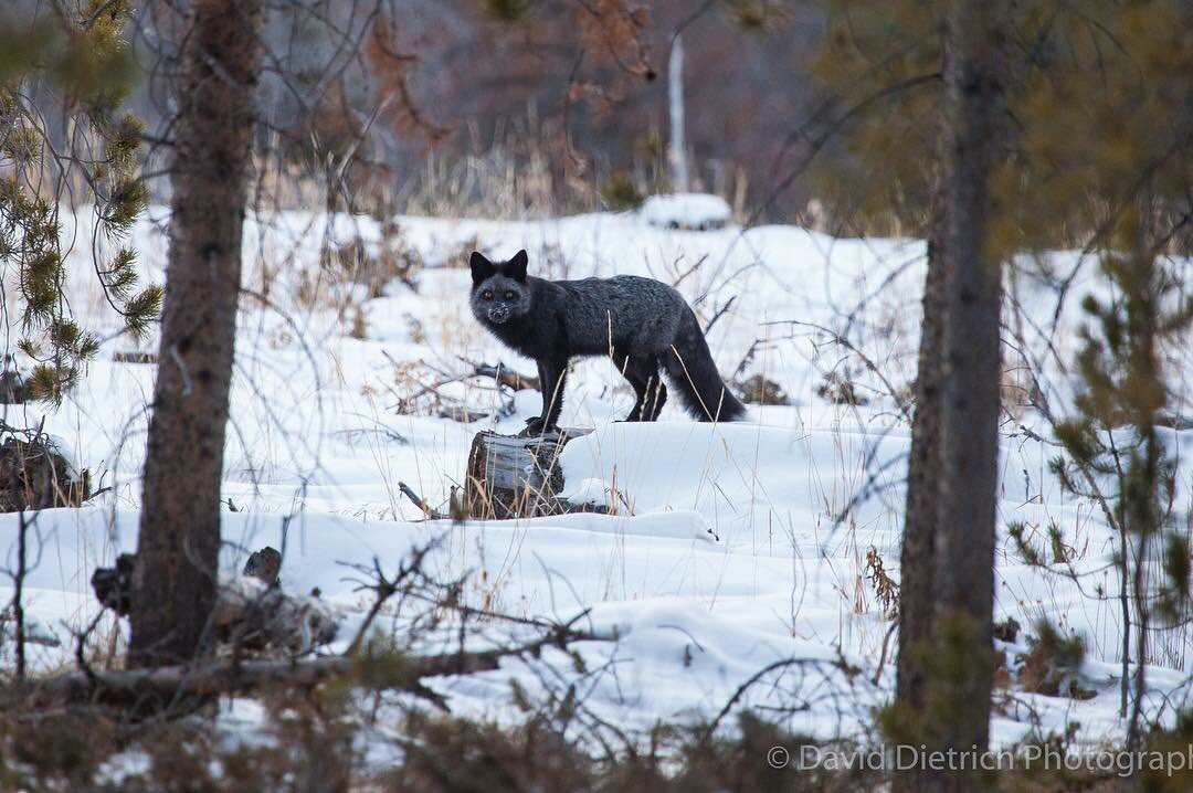 Beautiful!  Photographer David Dietrich spotted this near Cameron Pass. #wildlifephotography
