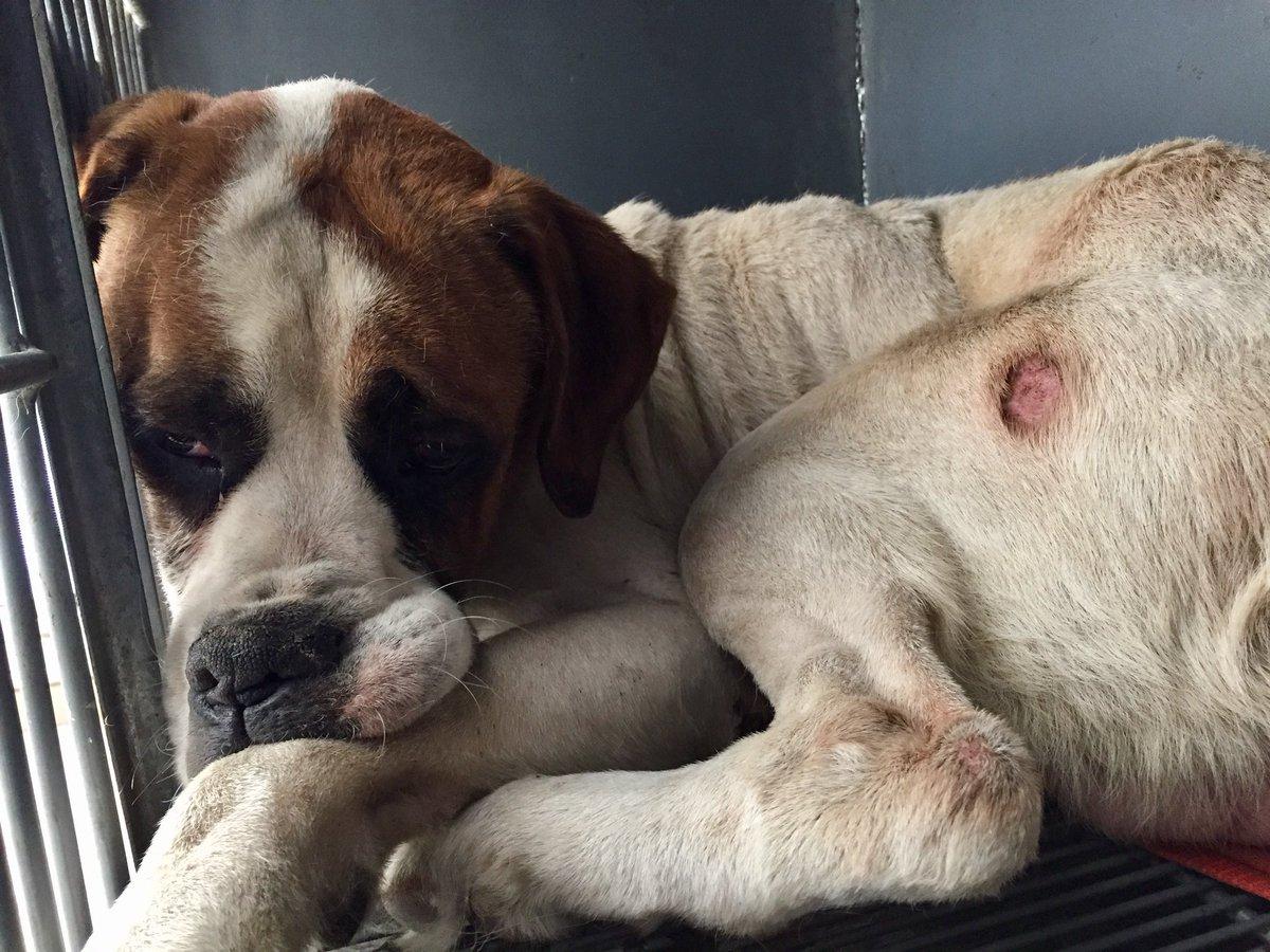 Se encontró este perro en Los Olivos, es grande y está muy deprimido y delgado. https://t.co/T5V4ExFUhW