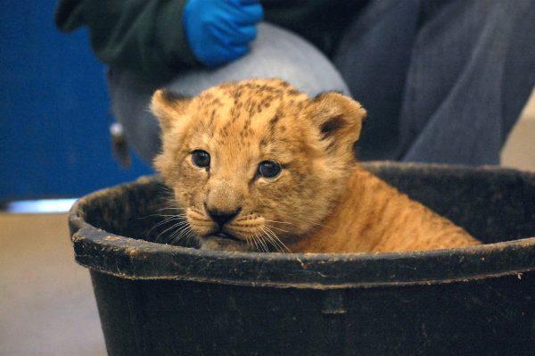 Help name the Virginia Zoo's newest lion cub! https://t.co/KvmNfiRUAh