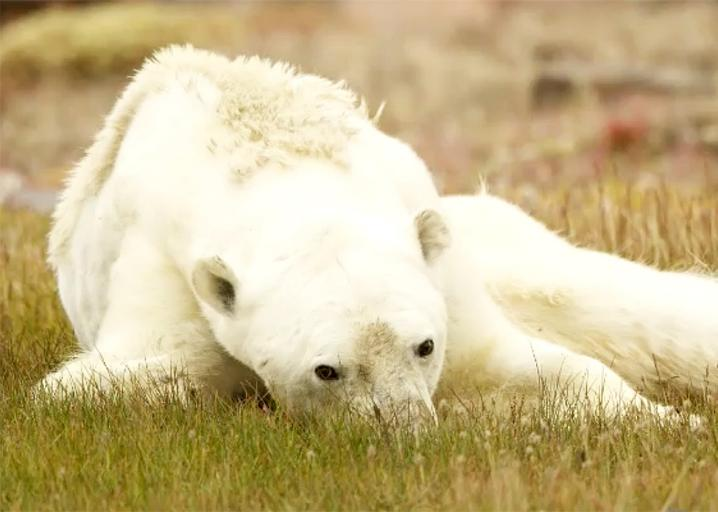 Climate change is killing polar bears, but the viral starving bear photo may just depict disease: https://t.co/ofQwcoYEne