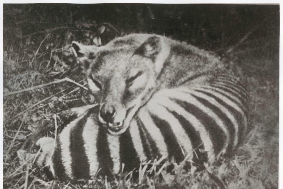 Tasmanian tigers were in 'bad genetic shape' long before extinction, DNA analysis shows https://t.co/aN2KbBWnke | @ABCscience