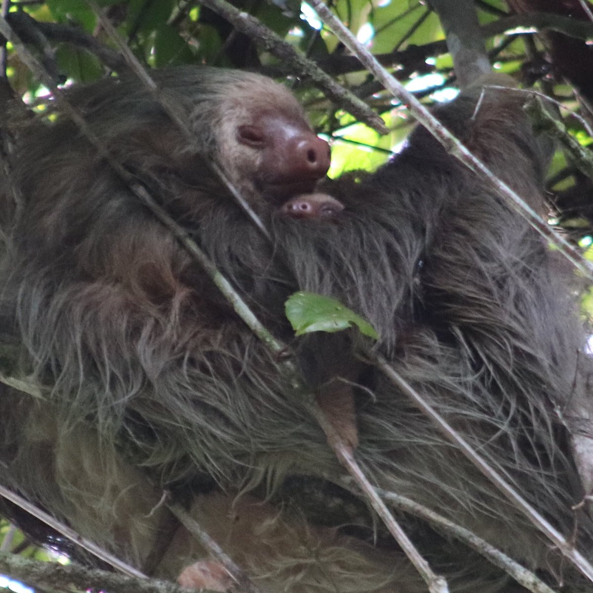 Julia hartley brewer on twitter greetings from the costa rican julia hartley brewer on twitter greetings from the costa rican rainforest where this sloth her tiny baby and i wish you all a very merry christmas kristyandbryce Gallery
