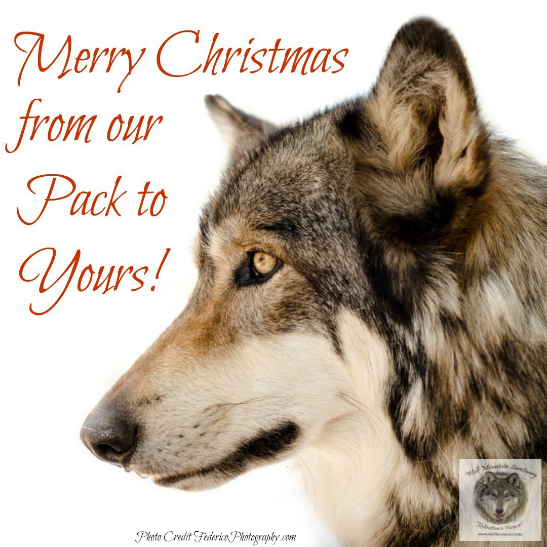 Christmas Wolf.Wolf Mountain Sanct On Twitter Merry Christmas Wolf Lovers