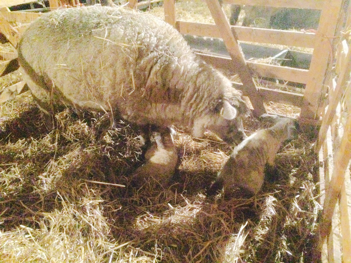 Nice start to Christmas Day, a couple of strong #OxfordDown cross Texel lambs born at 2am. #lambing2017