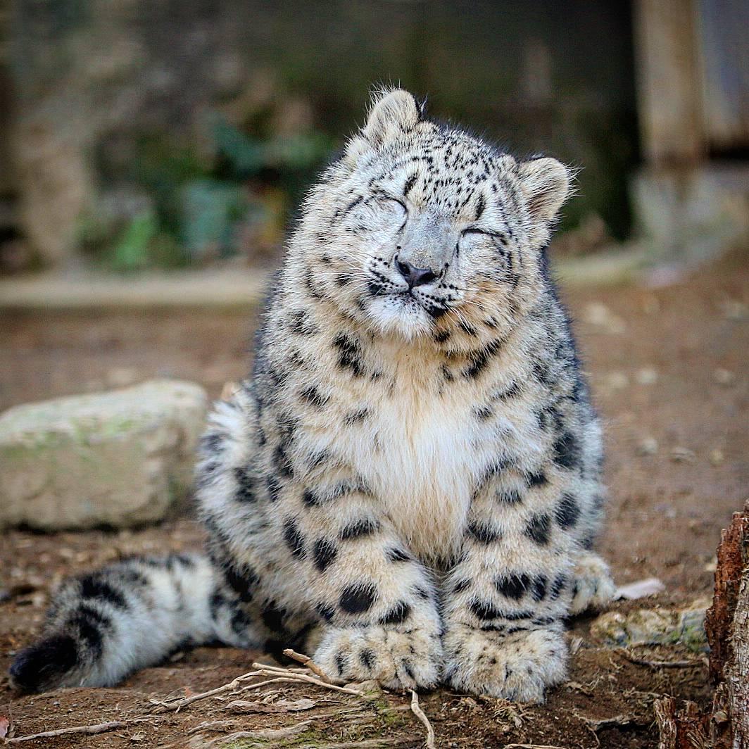 フクちゃんのフクは、幸福のフクですね🎵😊 多くの方から愛されて成長を見守られていると思います🎵😊👍 この笑顔に幸せを感じます…😌 #多摩動物公園 #ユキヒョウ #フクちゃん #snowleopard