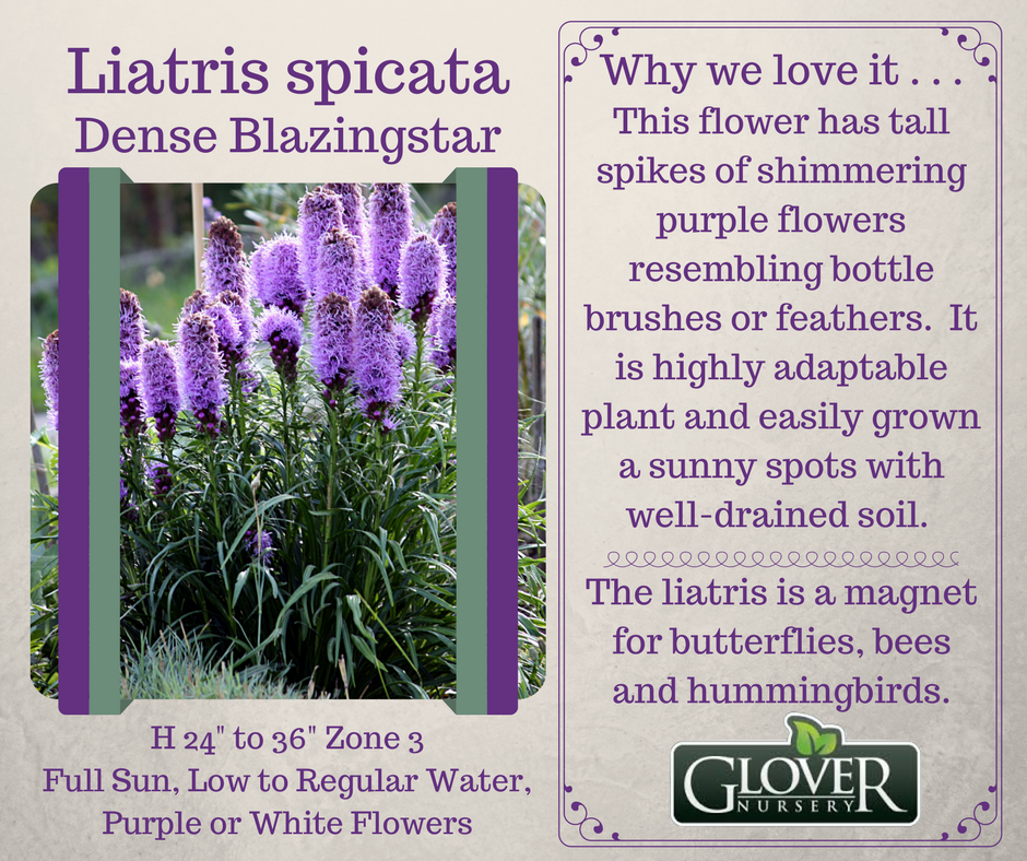 Glover Nursery On Twitter Liatris Ata Flower Has Tall Spikes Of Shimmering Purple Flowers Gloverlovesthis 52weeksofgloverlove
