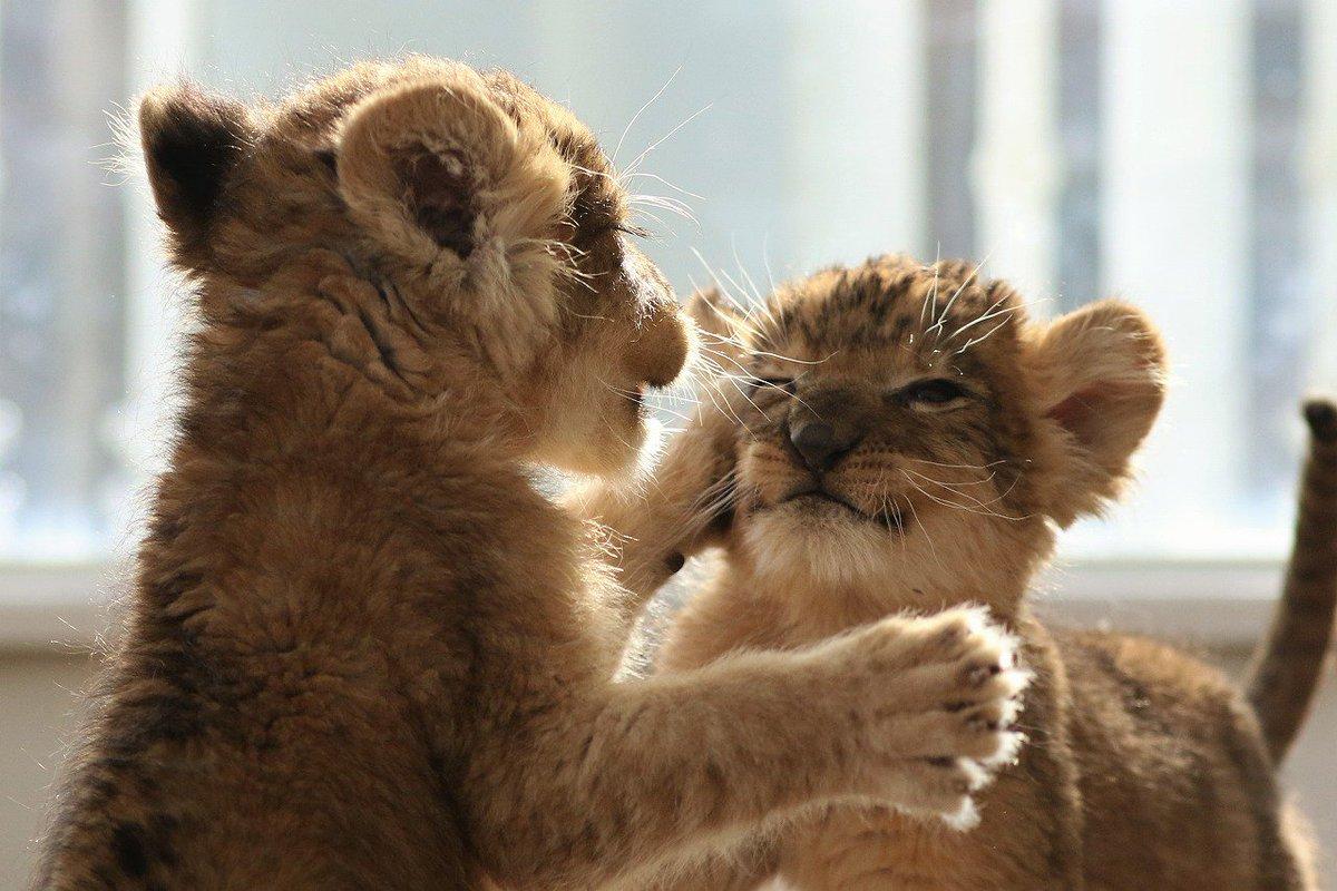 昨日のケンカの続き😆 なかなかのクリーンヒット😜 #ライオン #赤ちゃん #アフリカンサファリ #つづく