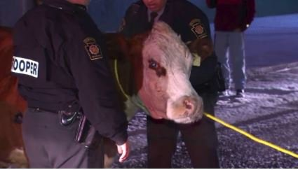 Busy morning in Philly as a Cow escapes from an Old City Nativity scene twice, runs loose on I-95 https://t.co/PS7BWpHO2q