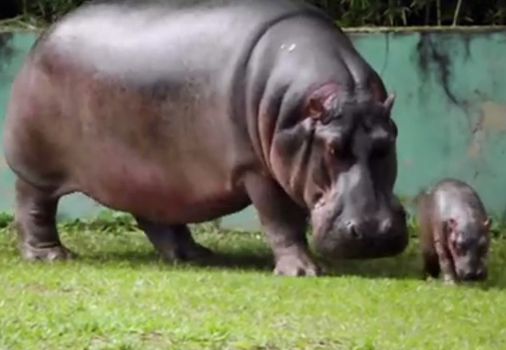 Filhote de hipopótamo nasce em Zoológico de Belo Horizonte, em Minas Gerais https://t.co/xdcADGISwD #G1