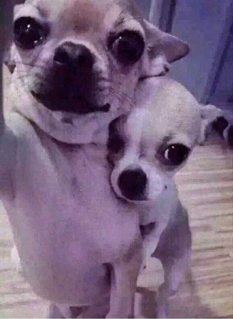 why do these dogs look like every 2008 myspace emo couples profile picture