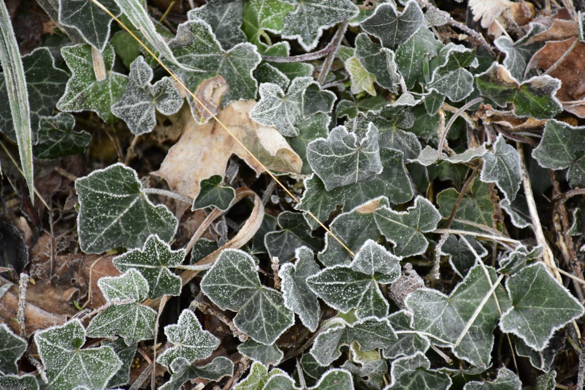 Prior Park On Twitter Plant Of The Week Is Tree Ivy Or