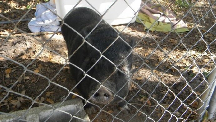 Truck sought after pigs abandoned in Daytona Beach https://t.co/lpq9Yp4ymf