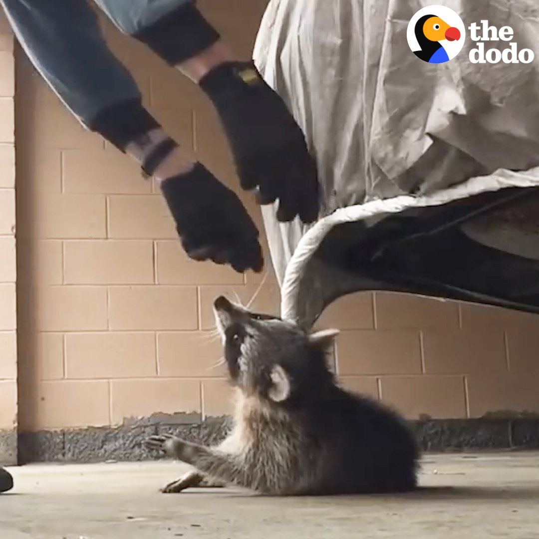 This guy found a raccoon tangled in his...