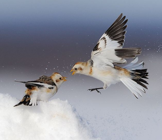 Snow Bunting (Plectrophenax nivalis)#painting #art <br>http://pic.twitter.com/2iszdUj4PT