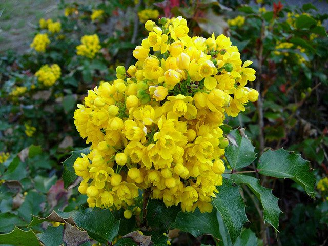 Sophie on twitter oregongrape state flower of oregon is an in spring the oregon grape bears small yellow flowers that are followed in the late summer fall by dark purplish black edible berries mightylinksfo