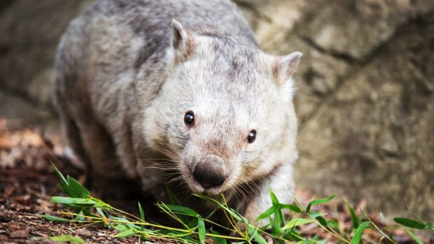 Winnie, Australia's oldest wombat, marks...