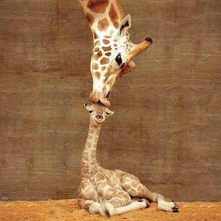 Картинки прикольные с жирафиком, картинки смешные супер