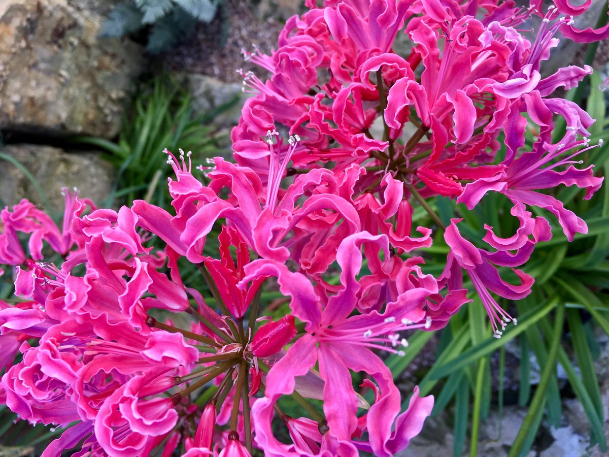 Kew Gardens On Twitter The Bright And Bold Colour Of Nerine