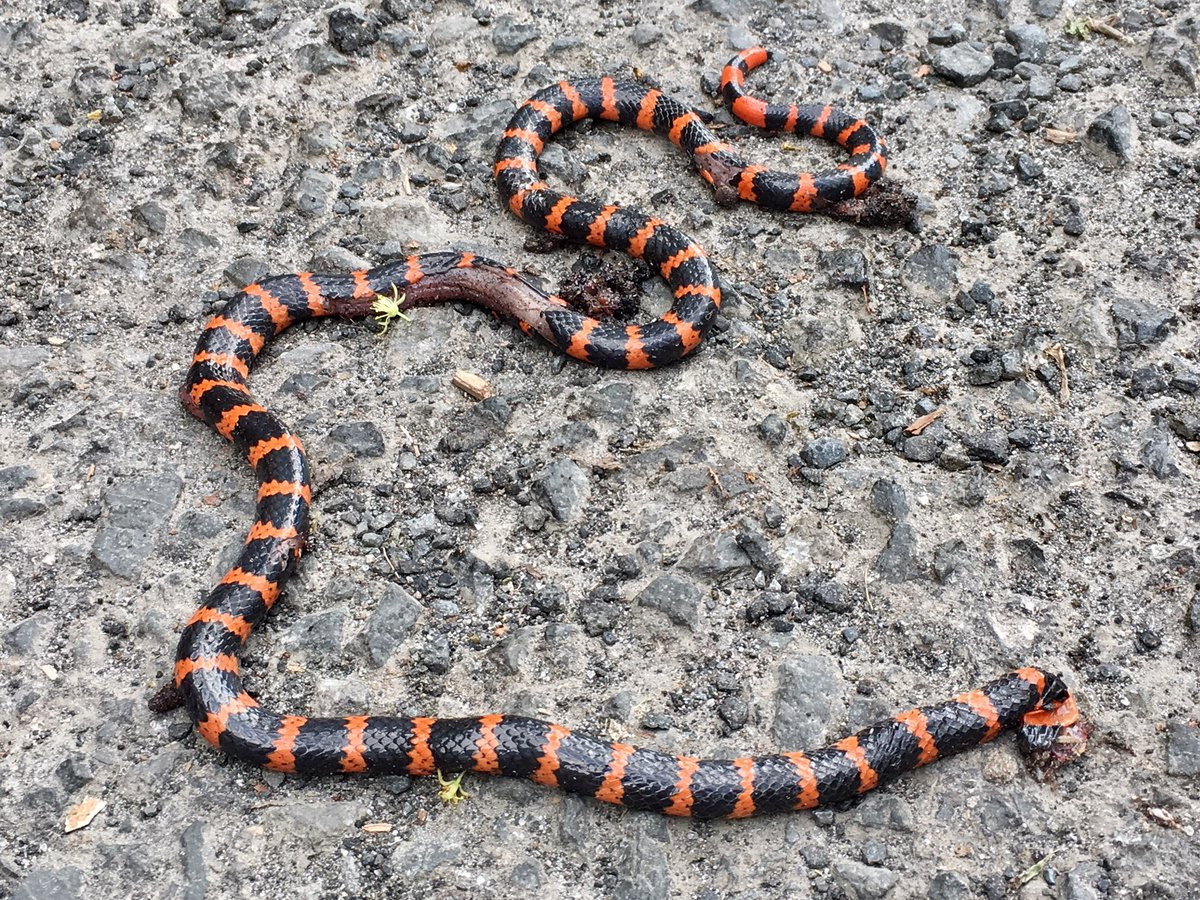 Corales Snakes