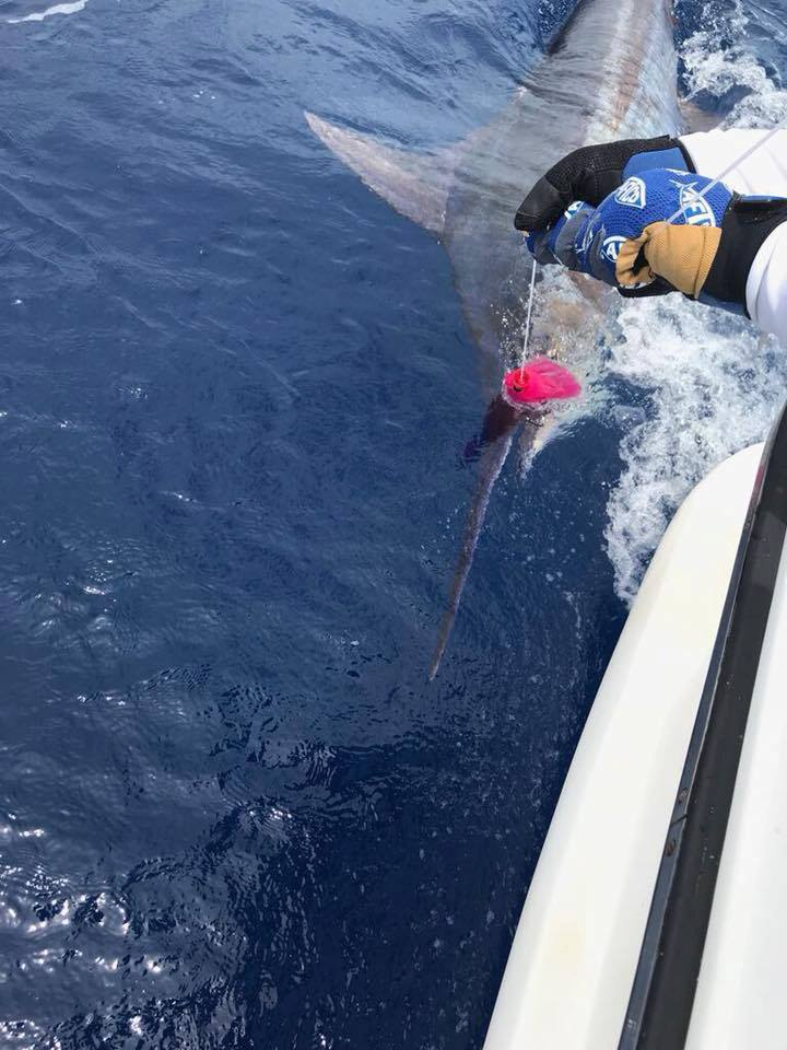 Canavieiras, Brazil - Leviale released a Blue Marlin.