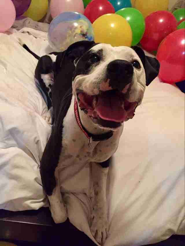 This pit bull's mom got him a room full of his favorite things for his birthday 🎉 https://t.co/lQpjZcfV8J