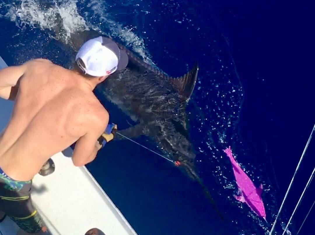 Kona, HI - Hooked Up released 3 Blue Marlin.