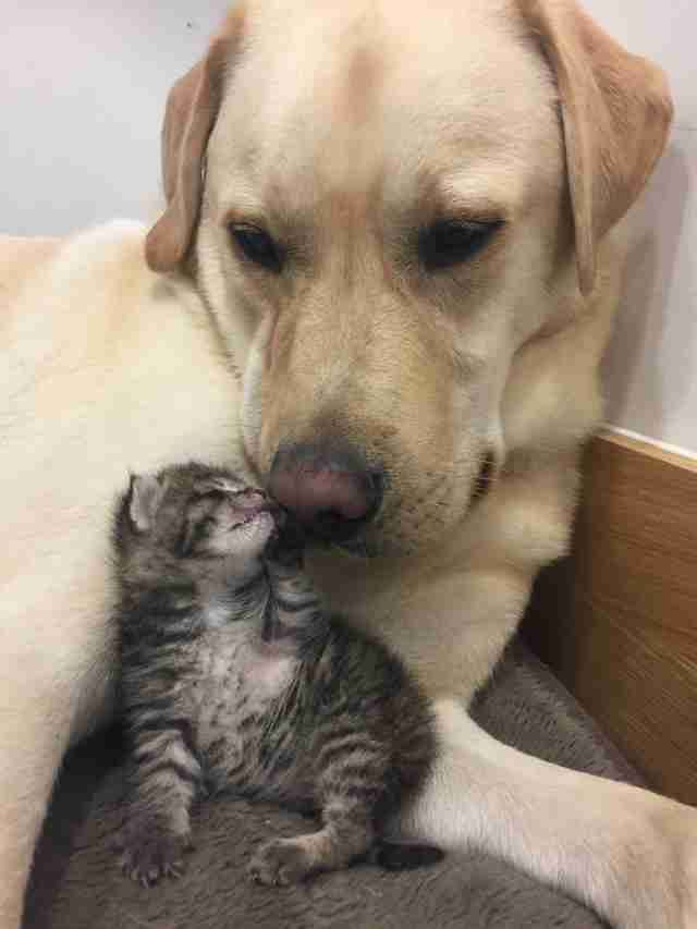 This rescue dog comforted a lonely shelter kitten who lost her family 🐶🐱 https://t.co/o1njVBdnnD