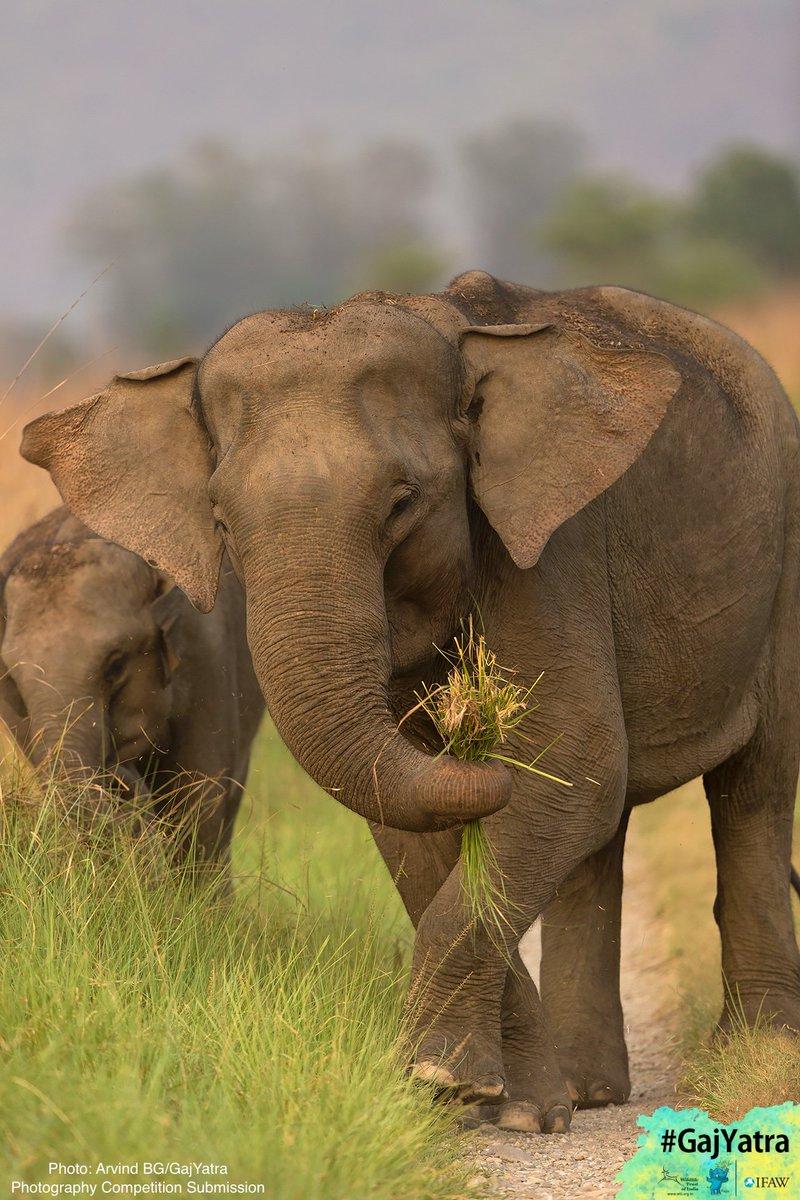 Wildlife Trust India On Twitter Elelove Dyk Didyouknow Not