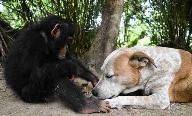 A dog named Princess at a sanctuary in Africa is helping make orphaned baby chimps get stronger 💕 https://t.co/RyGO7Sp9pi