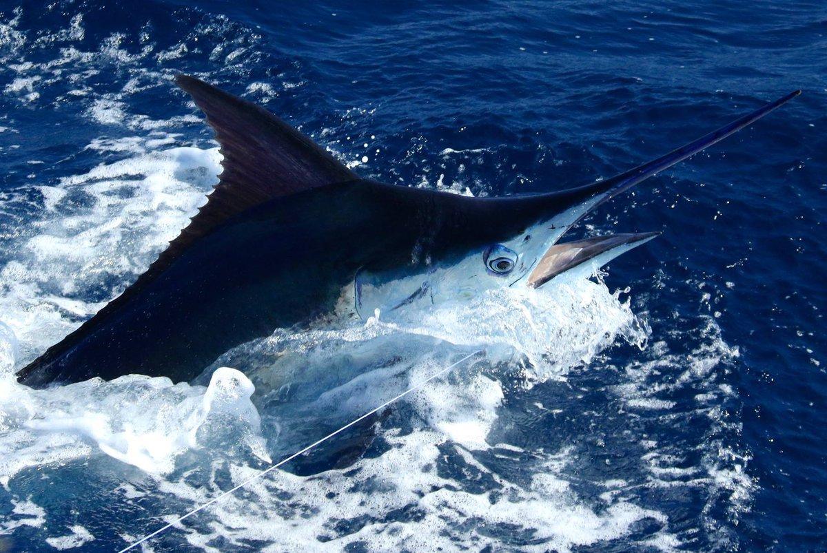 Exmouth, Aus - Peak Sportfishing went 4-7 on Blue Marlin.