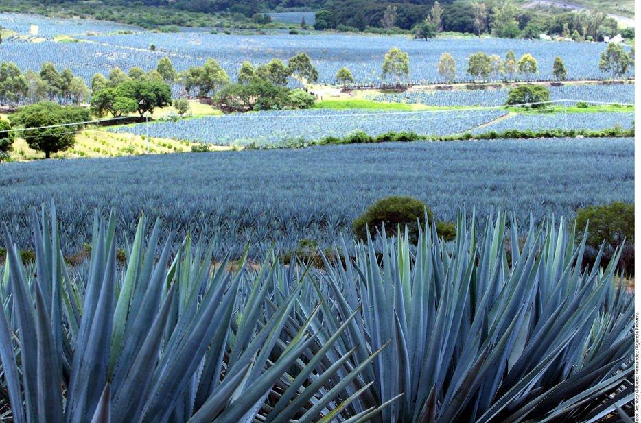 праздника голубая агава фото спине