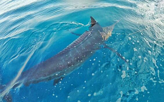 Watamu, Kenya - Capt. Calvin Du Plessis on Soolyman released a Blue Marlin and a Swordfish.