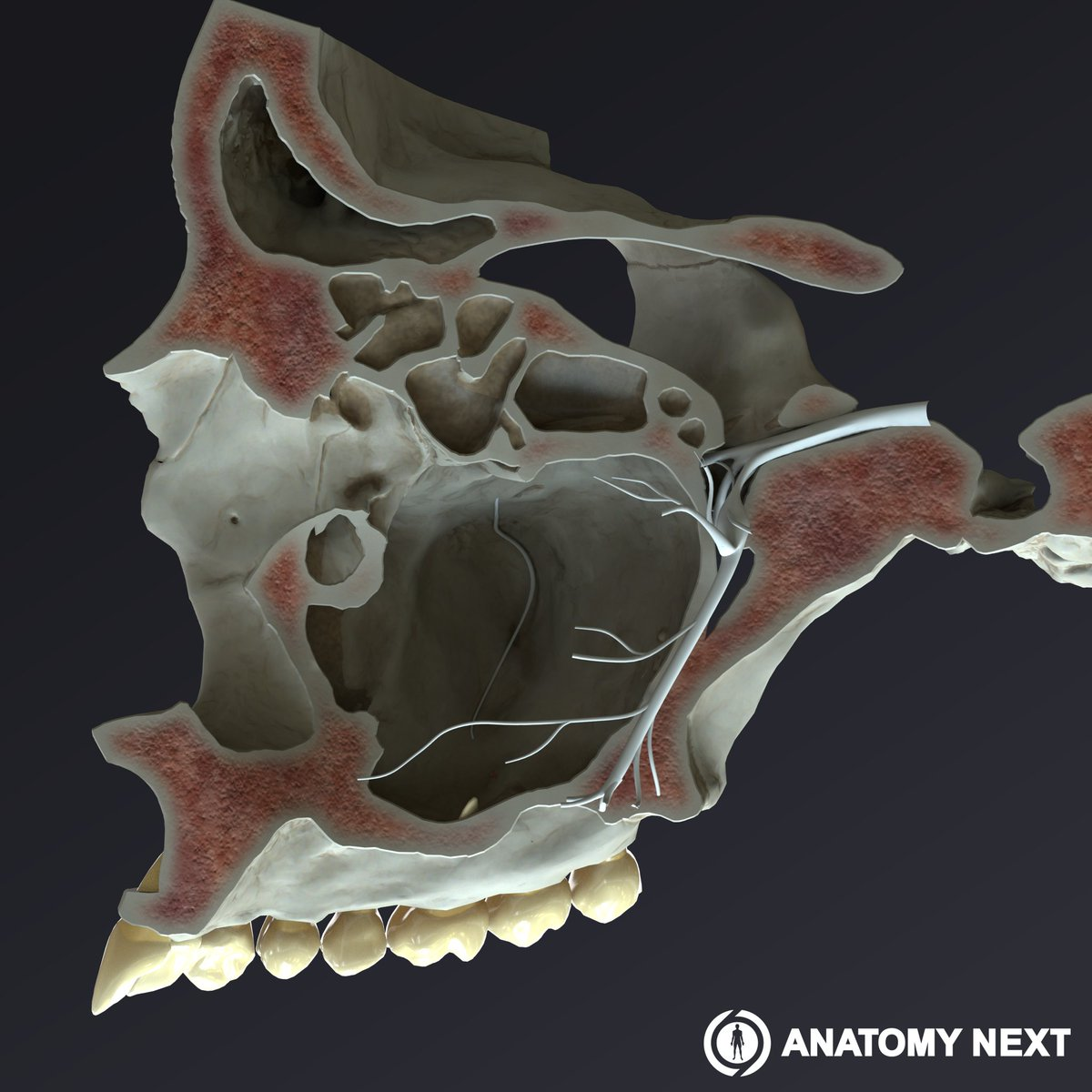 Anatomy Next On Twitter The Maxillary Sinus By Anatomynext