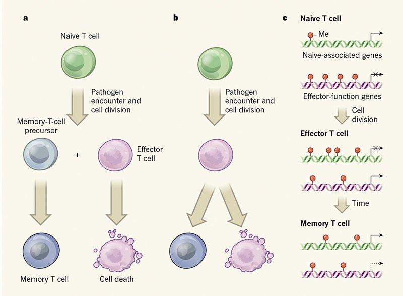 T細胞 - Twitter Search