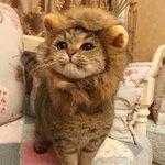 ライオンに扮した猫が可愛すぎる胸キュンする人が続出な画像がこちら!