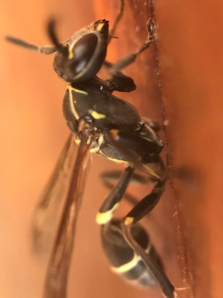 черные осы в квартире фото это сложно