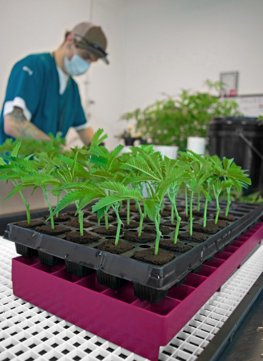 Garden Remedies On Twitter Through Cloning We Re Able To Grow