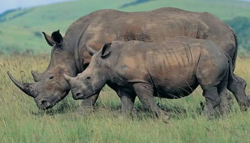 #JaldaparaWildlifeSanctuary was established in 1941 to protect the Indian #OneHornedRhinoceros.It was declared a #NationalPark in May 2012.Other attractions of the park include leopards, elephants,sambhars,barking deers and several birds like Bengal florican,crested eagle etc.