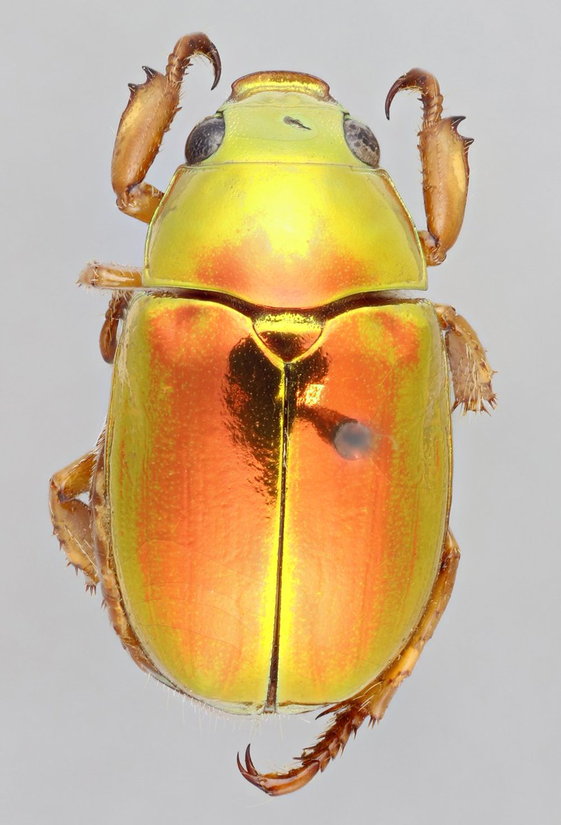 Australian Christmas Beetle.National Museums Scotland A Twitter Let Us Introduce You