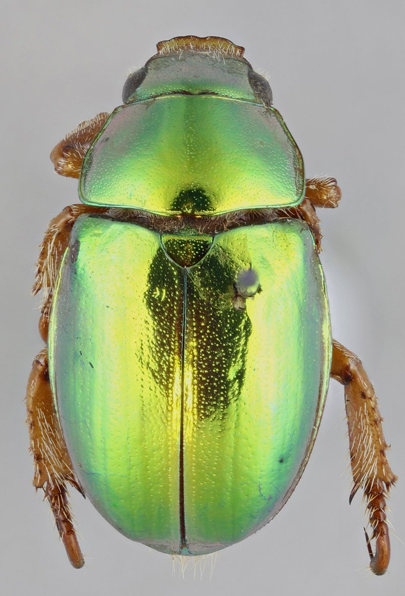 Christmas Beetles.National Museums Scotland A Twitter Let Us Introduce You