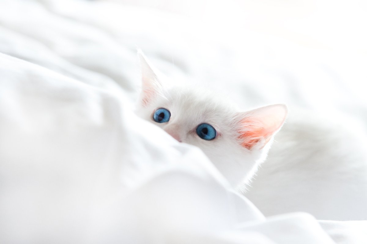 HD Wallpapers On Twitter Image By Dhi Download App Tco MhtUZCWVno Please RT Cat Kitten Animal White Pat Blue Eyes Cute Bad